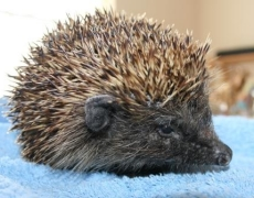 Amazing Animal of the Month: Barstool the Hedgehog