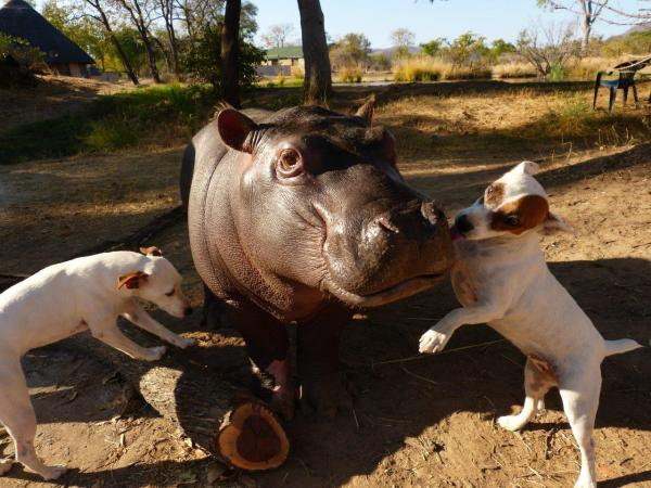 Orphaned Baby Hippo Leaves Canine Friends To Return To The Wild