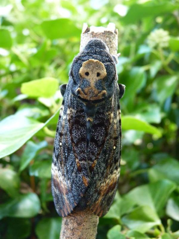 Death's head Hawk-moth Amazing Animal of the Month