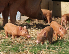 10 Rare Piglets Become Internet Stars
