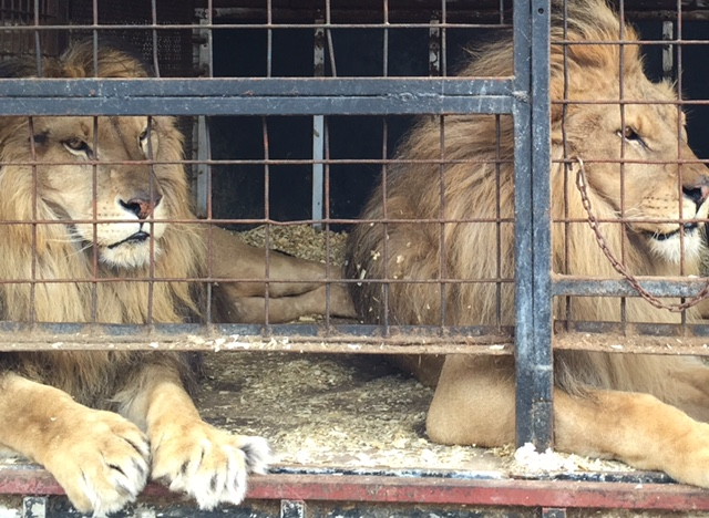 Ex-Circus Lions Given New African Home