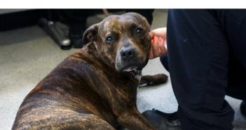 Four-Year-Old Staffie is Lucky by Name and by Nature