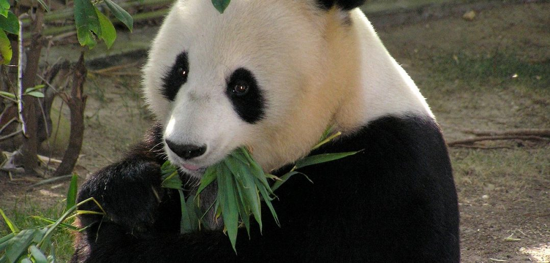 Giant Pandas are no longer close to extinction!