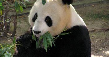 Giant Pandas are no longer close to extinction!