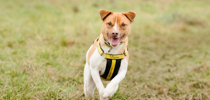 A paw-fect start to 2017 for Jack Russell Terrier Cross Paddy