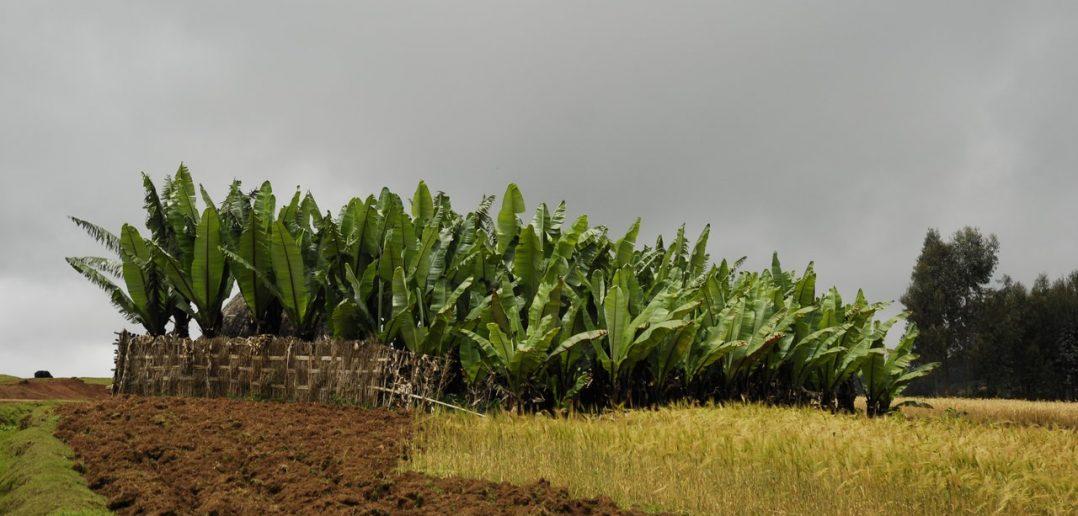 Enset- Ethiopia's 'gift to Africa'