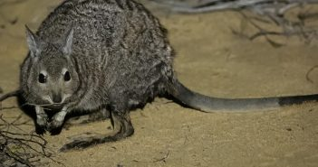 Historic return to mainland Australia for rare kangaroo species