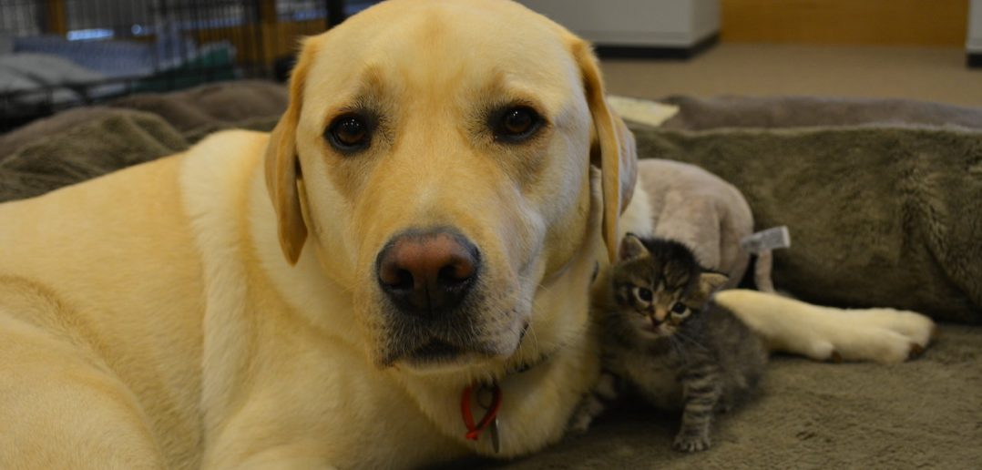 Feeling paw-ternal: Barney the Labrador adopts Battersea kitten