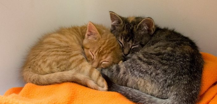 Adopted Kitten Cries All Night for His Sister, Who Then is Adopted by Same Family