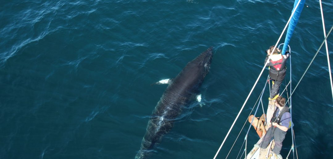 Join an Expedition to study health of whales in Hebrides using pioneering laser photography