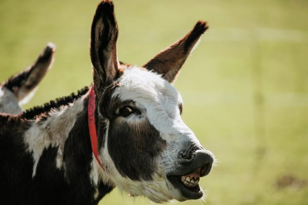 A 'bray' of thanks to donkeys this Donkey Week