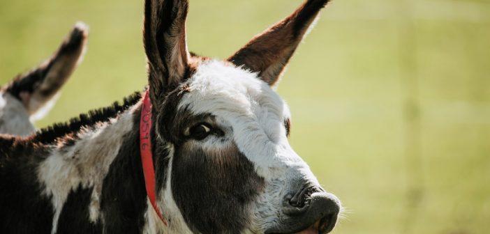 A 'bray' of thanks to donkeys this Donkey Week