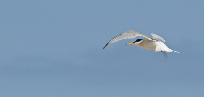 Rare little tern chicks on east Norfolk beaches take their first flight
