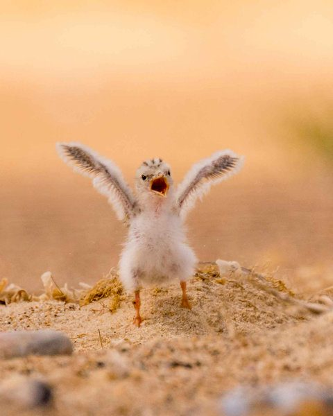 Rare little tern chicks on east Norfolk beaches take their first flight