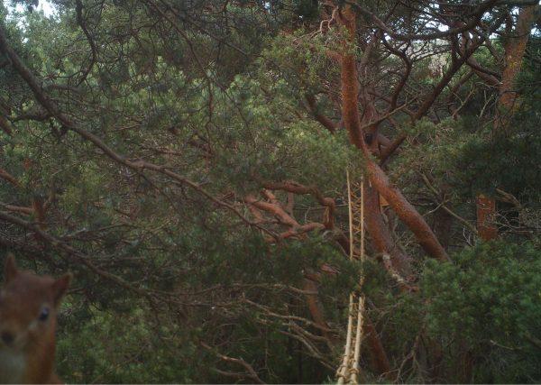 New 'suspension bridge' keeps red squirrels safe in Highlands