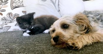 6 Month Old Yorkshire Terrier Becomes Best Friends With a Kitten at Foster Carers' Home