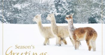 Picture perfect: Keen Amateur Photographer Has Alpacas Photo Used Commercially to Raise Money for Cancer Charity