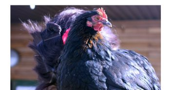 Amazing Animal of the Month: Mabel the Chicken