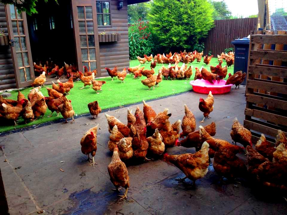 Lucky the Hen- The Story of a Heroic Survival: Hens4Rescue
