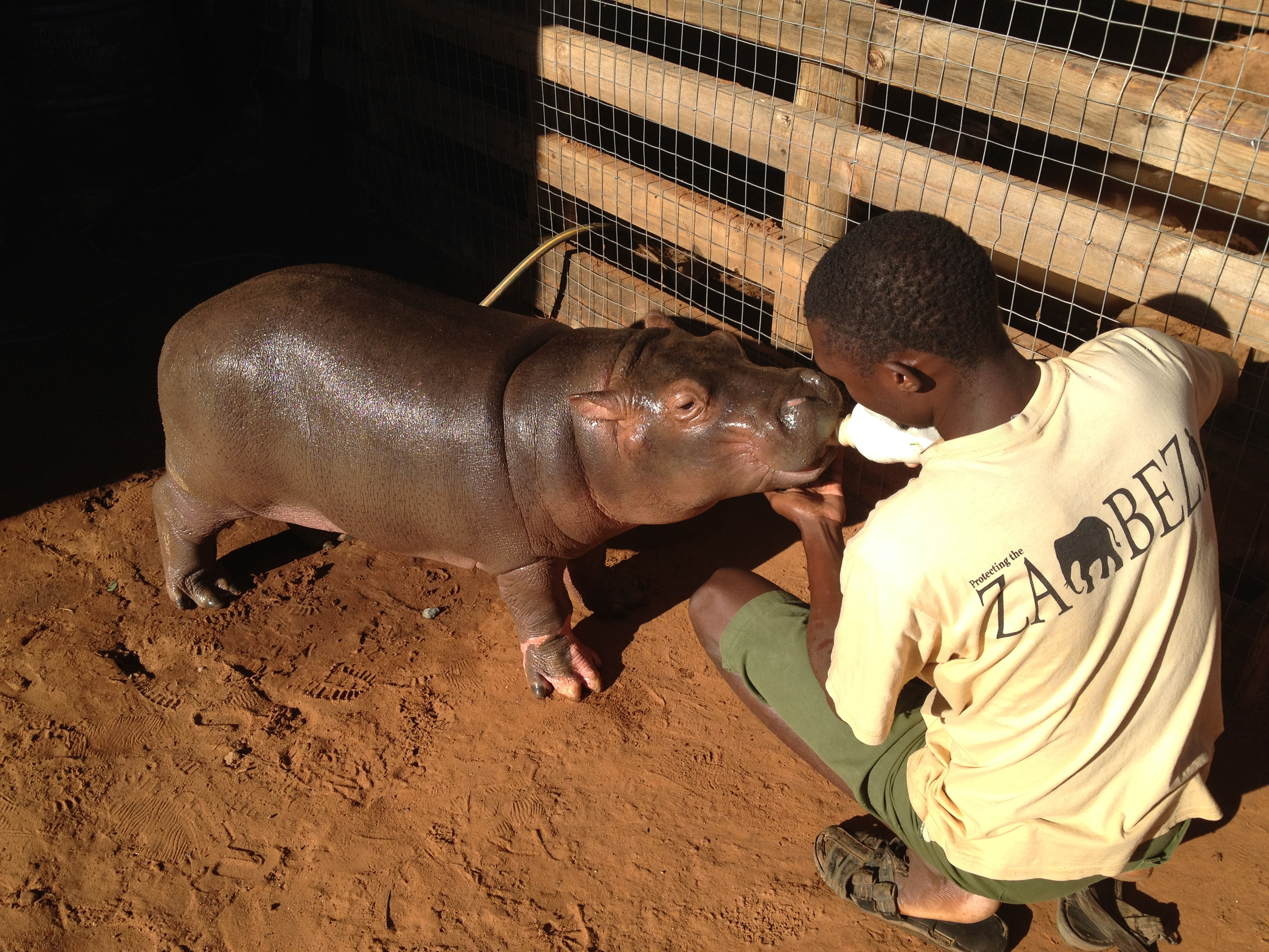 Orphaned Baby Hippo Douglas Leaves Canine Friends To Return To The Wild