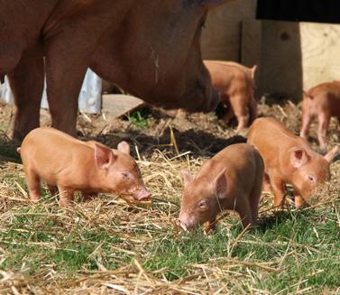 10 rare piglets become internet stars