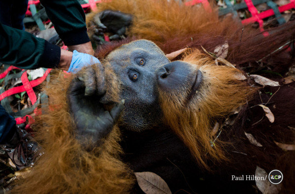 Friday the Orangutan: Amazing Animal of the Month