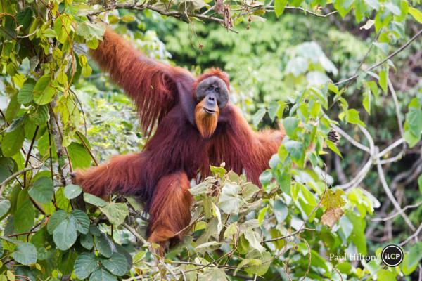 Friday the Orangutan: Amazing Animal of the Month