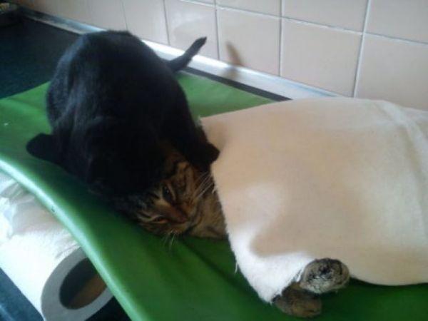 Rescue Cat Nurses Sick Animals at Shelter