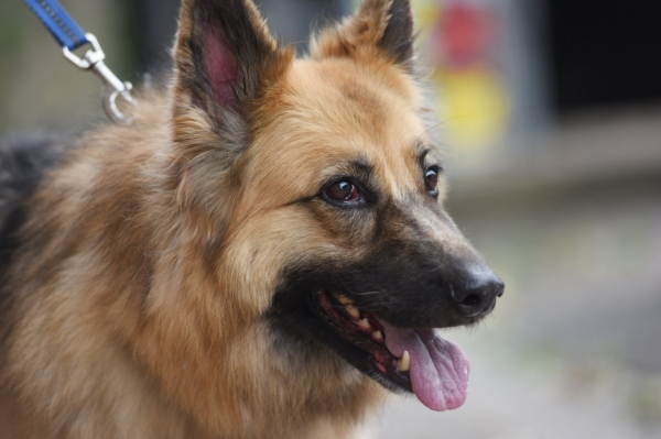 Looby Loo, a Heroic German Shepherd Rescue Dog