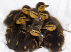 Early-Bird Ducklings Have Lucky Escape
