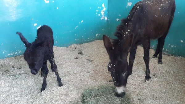 Shock Discovery Following Snowstorm Donkey Rescue