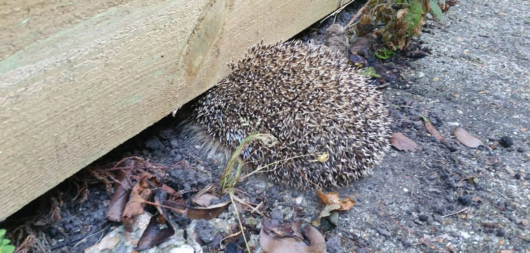 Watch a Pregnant Trapped Hedgehog Get Rescued and Released