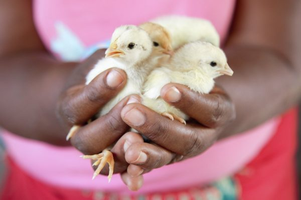 Chickens give farmers new hope when the rains fail