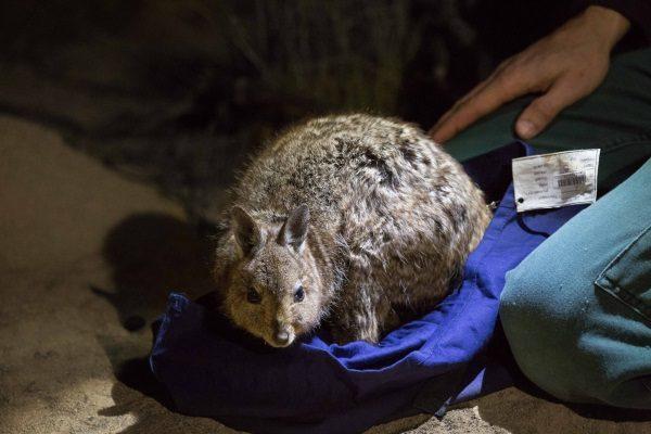 Historic return to mainland Australia for rare kangaroo species