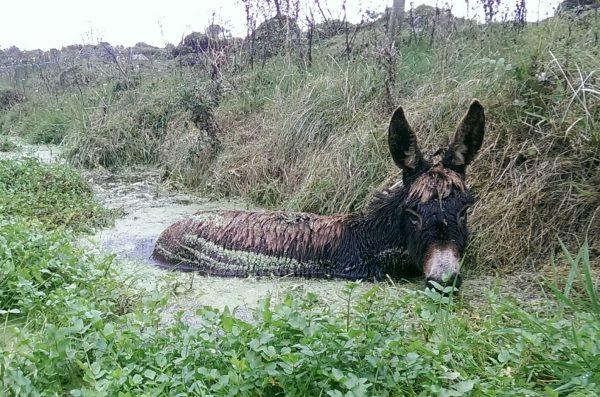 Roma the Donkey Rescued from Treacherous Bog