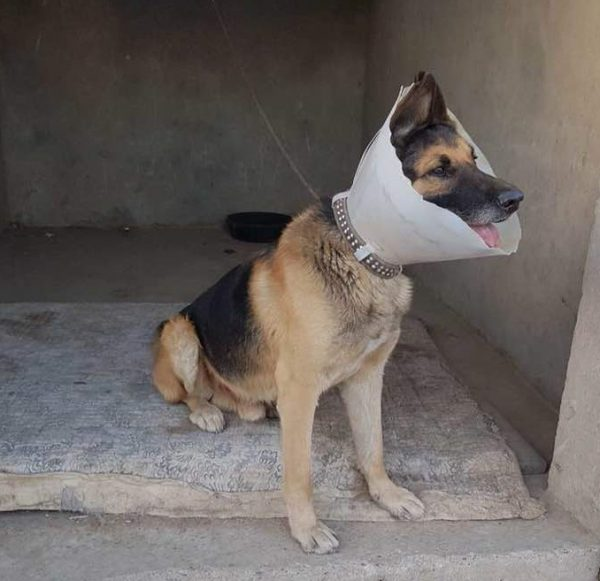 Former Special Forces Dog Helped in Afghanistan by UK charity