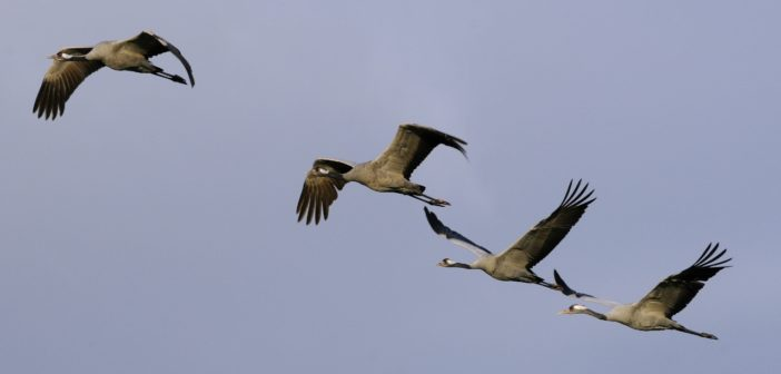 2018 Has Been the Most Successful Year for Britain's tallest bird – the common crane – since the 17th Century.