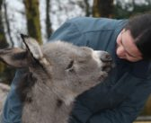 Orphaned Donkey Foal Has New Home for Christmas