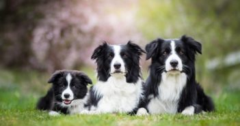 New DNA Test Launched to Check for Genetic Mutation That Causes Glaucoma in Border Collies