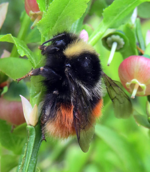 Caged flowers could save rare bee in one of its last strongholds