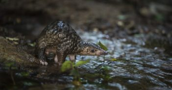 Endangered baby pangolin takes his first steps after rescue from poachers