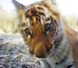 ZSL helps Nepal to double wild tiger numbers