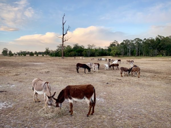 UK Charity helps The Good Samaritan Donkey Sanctuary take care of donkeys during the Australian summer period