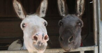 Donkeys revealed as a British favourite despite 'stubborn' myth
