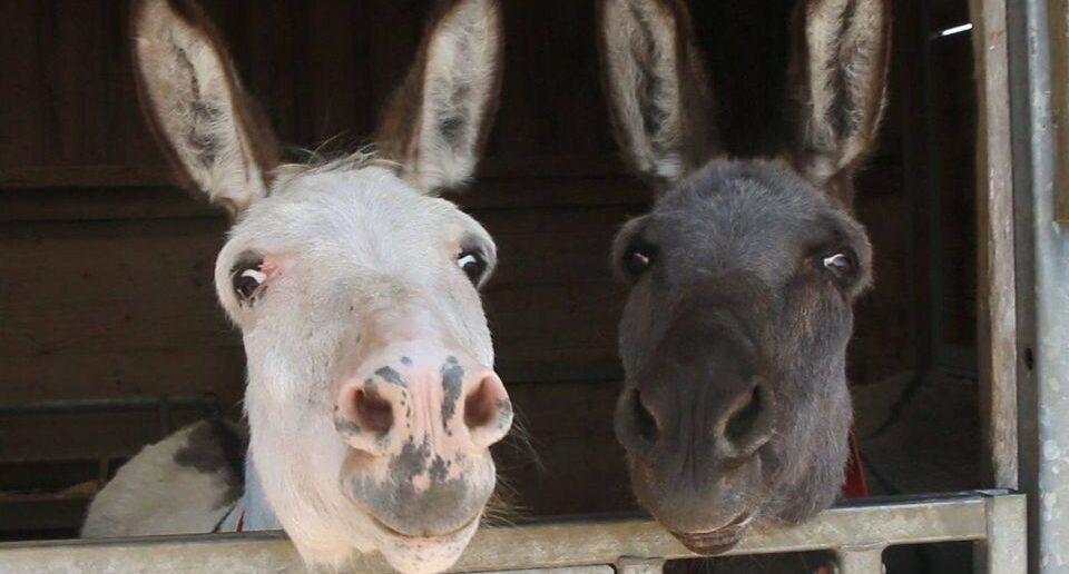 Donkeys revealed as a British favourite despite 'stubborn' myth