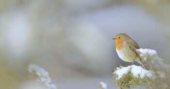 Learn how to help robins this year with the RSPB