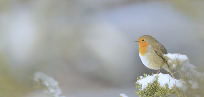 How You Can Help Robins This Christmas