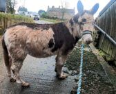Donkeys with severely overgrown hooves rescued and thriving