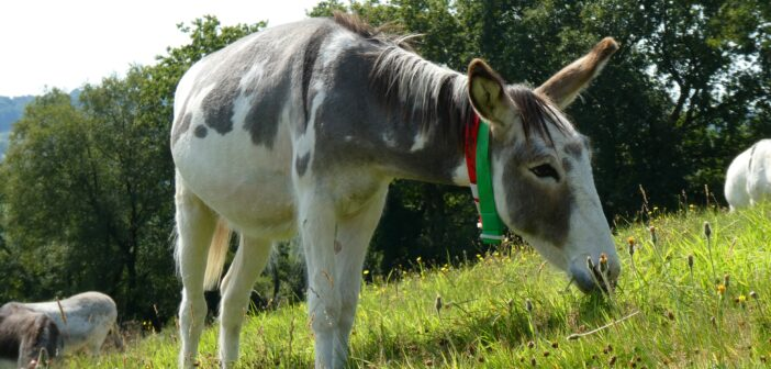 'Ballerina syndrome' donkey back on his hooves