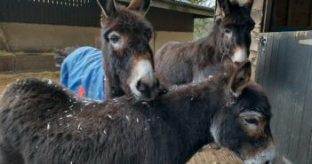 Severely overweight and lame donkey rescued
